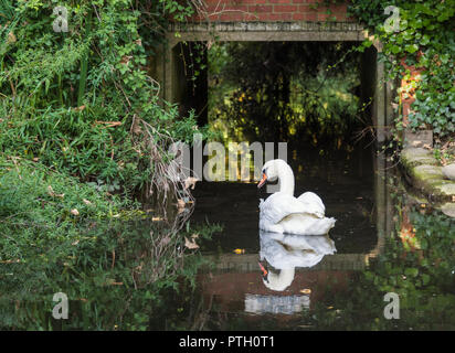 Adult White Mute Swan (Cygnus olor) with perfect reflection swimming under a culvert (tunnel) in Autumn in West Sussex, England, UK. - Stock Photo