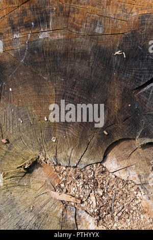 Oak wood in longitudinal section, beautiful texture filled with cracks and knots, background, close up - Stock Photo