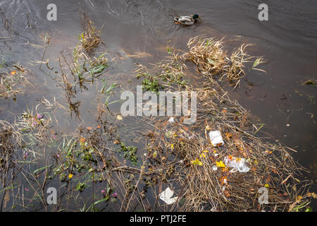 A Mallard duck swims past discarded rubbish floating in the River Nith, Dumfries, Scotland. - Stock Photo