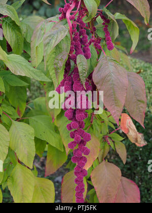 Red purple foxtail amaranth many parts of it including seeds and leaves are edible and it can be used as food colorant amaranthus caudatus, - Stock Photo