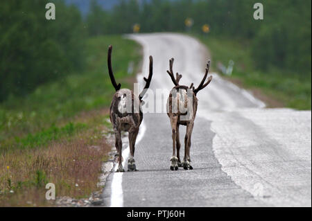 Two Santa's reindeers walking on the road in Finnish Lapland. - Stock Photo