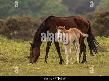 New Forest Pony foal - Stock Photo