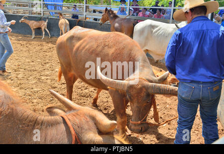 Tom Curtain the singing cowboy performing in his Outback Experience show in Katherine, bringing buffalo, steer, mule and donkey into the arena. - Stock Photo