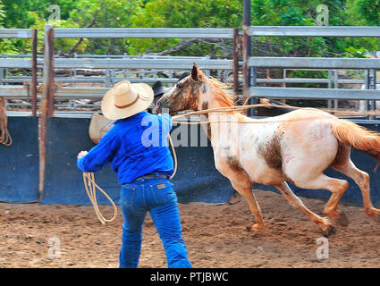 Tom Curtain the singing cowboy performing in his Outback Experience show in Katherine, Northern Territory,  lassoing a  young unridden wild horse - Stock Photo