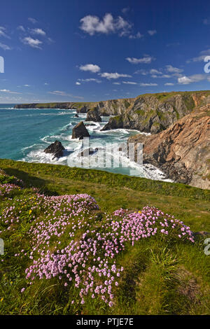 Thrift covered cliff tops above Bedruthan Steps near Carnewas on the north Cornish coast. - Stock Photo