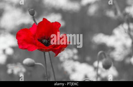 A single red poppy stands out against a monochrome background alllowing copy space. - Stock Photo