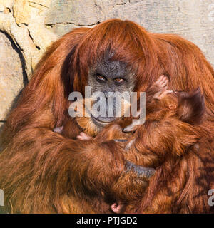 A baby Sumatran Orangutan its held in the arms of its mother as they warm in the sunshine. - Stock Photo