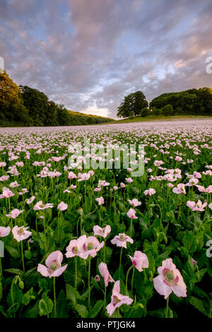 A sea of opium poppies in a field in Dorset. - Stock Photo