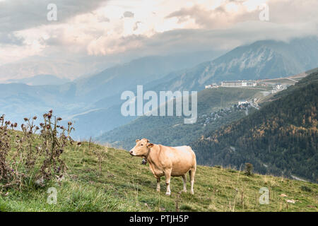 Saint Lary, France - August 21, 2018: cow grazing in the pasture near the Pla D Adet ski resort on a summer day - Stock Photo