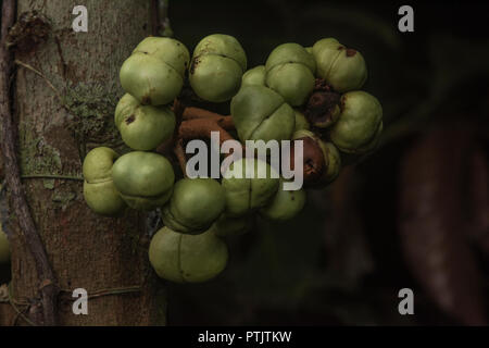 An Iruanthera species from the Myristaceae family, the fruit grows out from the trunk. - Stock Photo