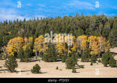 In aspen grove in autumn colors of gold, yellow, and orange contrasting with the dark green of a pine forest - Stock Photo