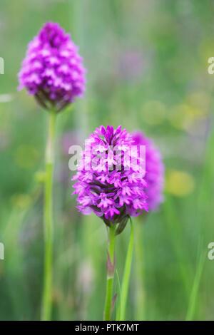 Anacamptis pyramidalis. Pyramidal orchid in a wildflower meadow. - Stock Photo