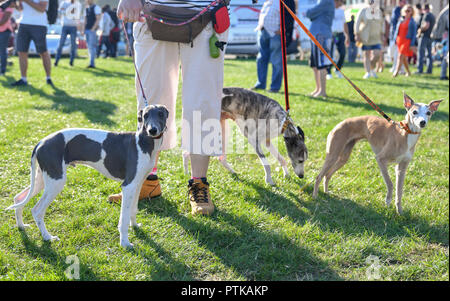 Woman walking on a leash of three dogs on the competition - Stock Photo
