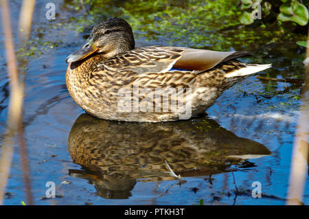 Female mallard duck chilling in the pond on a beautiful sunny day. - Stock Photo
