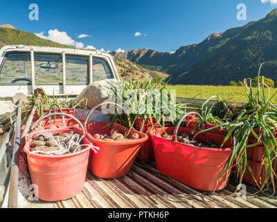 Truck loaded with harvest of organic potatoes & onions in the Village of Lignan, Aosta Valley, NW Italy - Stock Photo