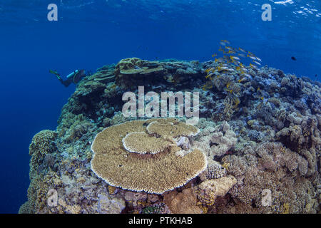 Female scuba diver with video camera photographs school of bluestriped snapper fish over table coral at the top of a pinnacle in the Red Sea. - Stock Photo