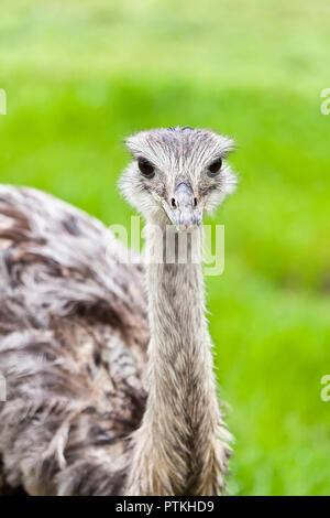 Closeup of a female ostrich in a grassy area looking straight at the camera - Stock Photo