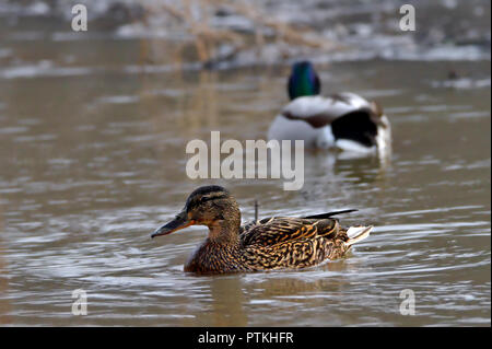 Two ducks swimming in a pond. Female in focus, male on background. - Stock Photo