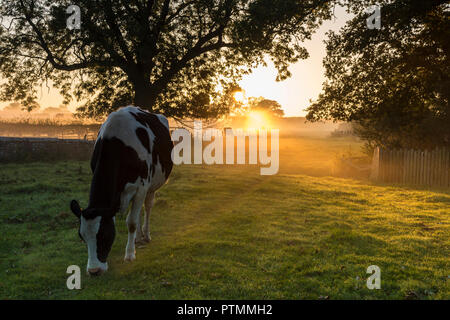 Barnard Castle, Teesdale, County Durham. Wednesday 10th October 2018. UK Weather.  These cows experienced a misty but colourful start to the day as the sun rose above the fields surrounding Barnard Castle.  The forecast is for an unseasonably warm day with plenty of sunshine.  David Forster/Alamy Live News - Stock Photo