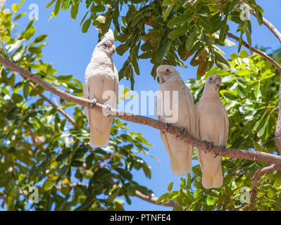 White Cockatoos sitting in a tree at Karumba, Queensland, Australia - Stock Photo