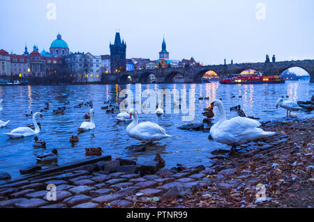 Praga, Czech Republic : Swans at the shore of the Vltva river at dusk with Charles bridge in background. - Stock Photo