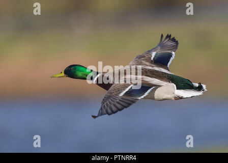 Detailed landscape close up: mallard drake (Anas platyrhynchos) in flight, heading left, wings outstretched to side. High angle shot showing duck back. - Stock Photo