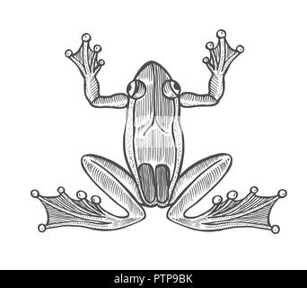 Vector frog in engraving style. Hand drawn illustration on white background. Retro style. - Stock Photo