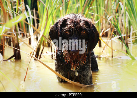 A wet dog head in the middle pond in reeds waiting on her branch. Bohemian wire-haired Pointing griffon. - Stock Photo