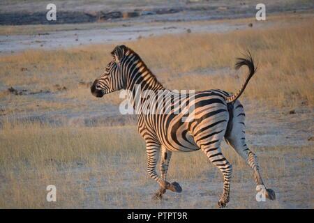 Zebra Africa - Stock Photo