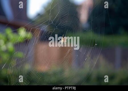 European Garden Spider or Cross Orb-Weaver on its web. - Stock Photo