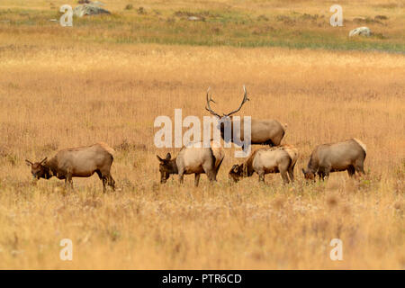 Bull elk watching over his herd of female cows in meadow during fall rut mating season in Colorado USA - Stock Photo