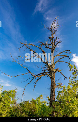 Dry dead tree covered with lichens standing alone in a green forest with cloudy spring blue sky in the background, Rhodope Mountain, Sothern Bulgaria - Stock Photo