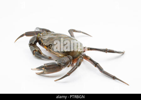 A shore crab, Carcinus maenas, also known as the european crab or green crab, photographed on a white background before release. Dorset England - Stock Photo