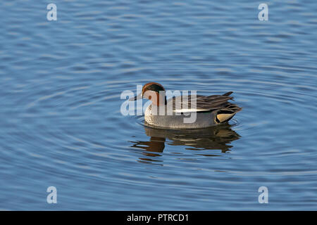 Landscape photograph of wild male teal duck (Anas crecca) isolated in afternoon winter sunlight, swimming alone in blue water, making ripples, UK lake. - Stock Photo