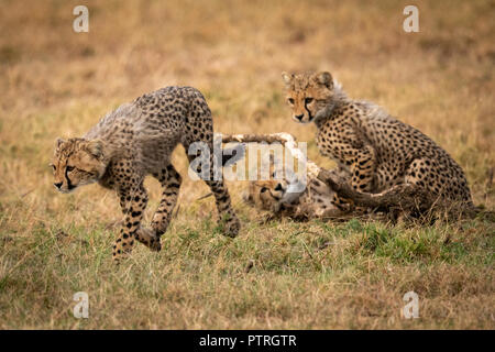 Cheetah cub runs away from two others - Stock Photo
