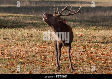 Windsor, UK. 10th October, 2018. A red stag brought to Windsor Great Park from the Balmoral Estate throws back its head to bellow on a warm autumn morning during the rutting season. There is a herd of around 500 red deer within the deer park enclosure in Windsor Great Park, all descended from forty hinds and two stags introduced from Balmoral Estate in 1979 by the Duke of Edinburgh. Credit: Mark Kerrison/Alamy Live News - Stock Photo