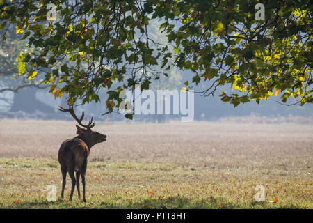 Windsor, UK. 10th October, 2018. A red stag brought to Windsor Great Park from the Balmoral Estate on a warm autumn morning during the rutting season. There is a herd of around 500 red deer within the deer park enclosure in Windsor Great Park, all descended from forty hinds and two stags introduced from Balmoral Estate in 1979 by the Duke of Edinburgh. Credit: Mark Kerrison/Alamy Live News - Stock Photo