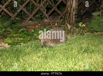 Hedgehog in my garden - Stock Photo