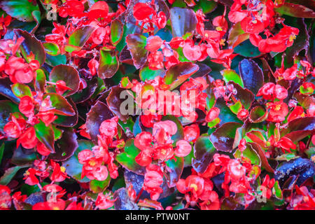 Beautiful red Semperflorens begonias flower background. Semperflorens begonias, commonly called wax begonias, are one of the most popular bedding plan - Stock Photo