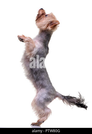 An adorable Yorkshire Terrier standing on hind legs - isolated on white background. - Stock Photo
