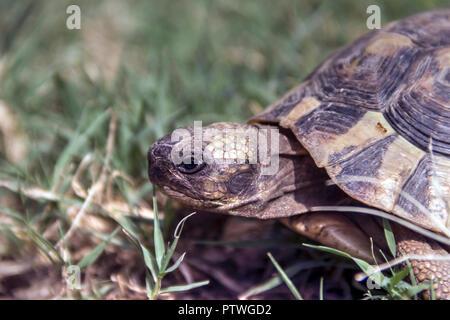 Montenegro - Hermann's Tortoise subsp. The Dalmatian Tortoise (Testudo hermanni hercegovinensis) - Stock Photo