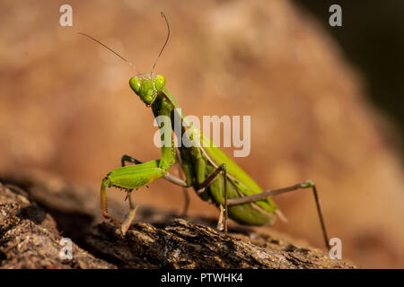 Green praying mantis looking at the camera close up on a rocky background - Stock Photo