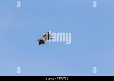 Hamerkop Scopus umbretta, adult, in flight, Kartong Wetland, Gambia, November - Stock Photo