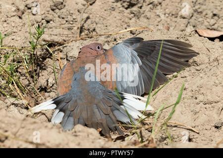 Laughing dove Streptopelia senegalensis, adult, sunbathing on sandy soil, Kotu Bridge, Banjul, The Gambia, November - Stock Photo