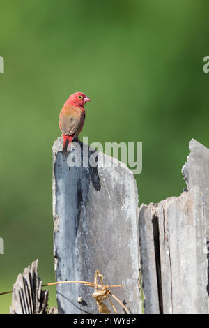 Red-billed firefinch Lagonosticta senegala, adult male, perched on post, Kartong Wetland, Gambia, November - Stock Photo