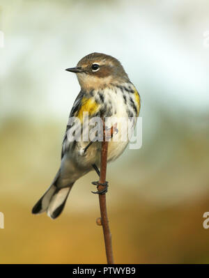 Portrait of Yellow-rumped Warbler Perched on Branch - Stock Photo