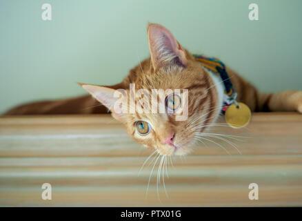 Handsome ginger tabby cat resting on a bookshelf. - Stock Photo