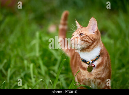 Beautiful young ginger red tabby cat looking at peace in a patch long green grass. - Stock Photo