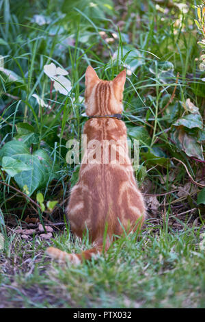 Ginger tabby cat with its back to the camera mouse hunting and looking for prey in tall grass and foliage. - Stock Photo