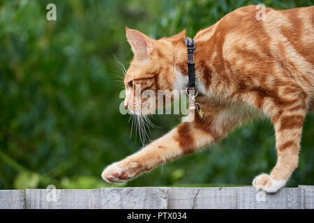 Ginger red tabby cat walking on top of a wooden fence with an out of focus green background. - Stock Photo
